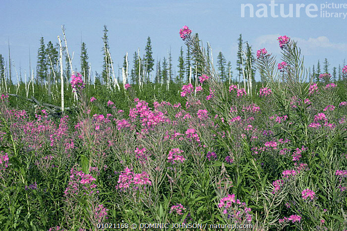 Willowherb (Epilobium sp) recolonising polluted oil site, Siberia., ASIA,CIS,CRUDE OIL,FLOWERS,PLANTS,POLLUTION,recolonisation,RUSSIA,SUMMER,TUNDRA, DOMINIC JOHNSON