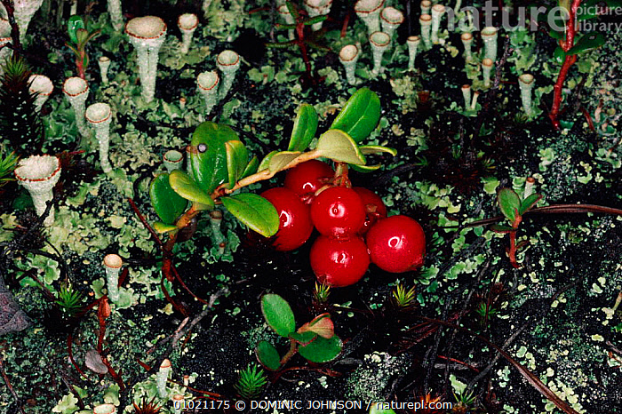 Cowberry (Vaccinium vitis-idaea) fruit and lichens, Siberia, , CIS, DICOTYLEDONS, ERICACEAE, FRUIT, HORIZONTAL, LICHENS, PLANTS, SUMMER, TUNDRA, DOMINIC JOHNSON