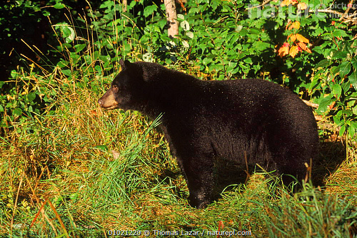 Male Black bear (Ursus americanus) in woods. Minnesota, USA, USA,MALES,CAPTIVE,WOODS,MINNESOTA,MIXED WOOD,HORIZONTAL,MAMMALS,PROFILE,NORTH AMERICA, Thomas Lazar