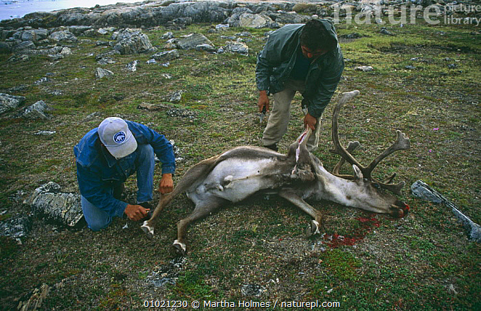 Inuits skinning Caribou (Rangifer tarandus) Wager Bay, NW Territories, Canada, sequence, ARCTIC,CANADA,CULTURES,HUNTING FOOD,MIXED SPECIES,NORTH AMERICA,NORTH AMERICA,PEOPLE,SEQUENCE,TRADITIONAL,TRIBES, Martha Holmes