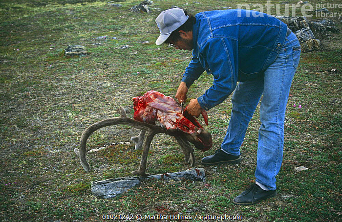 Inuits skinning Caribou (Rangifer tarandus) Wager Bay, NW Territories, Canada, sequence, ARCTIC,CANADA,CULTURES,HUNTING FOOD,MIXED SPECIES,NORTH AMERICA,PEOPLE,SEQUENCE,TRADITIONAL,TRIBES, Martha Holmes