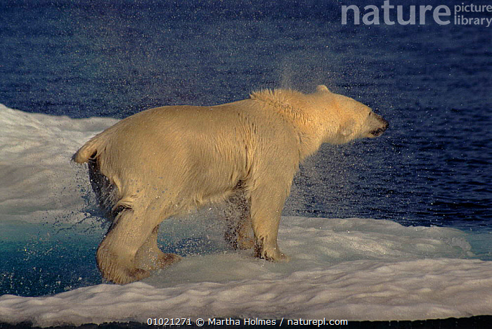 Polar bear shaking water out of fur after swimming, North West Territories, Canada, ARCTIC,CANADA,CARNIVORES,HORIZONTAL,MAMMALS,MARINE,MH,NORTH AMERICA,SEA,WATER, Martha Holmes