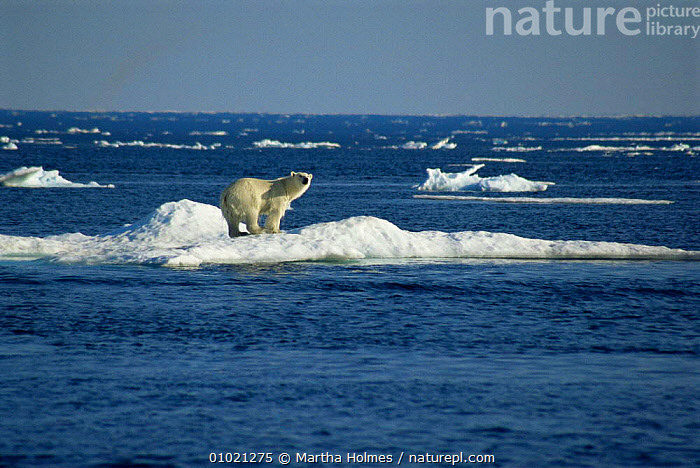 Polar bear (Ursus maritimus) hauled out on ice floe, NW Territories, Canada, ARCTIC,BEARS,CANADA,CARNIVORES,climate change,ENDANGERED,floes,global warming,ICE,iceberg,LANDSCAPES,MAMMALS,MARINE,melting,POLAR,seascapes,SUMMER,VERTEBRATES,North America, Martha Holmes
