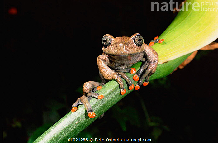 Tree frog (Hyla lindae) Western Ecuador, South America, AMPHIBIAN,AMPHIBIANS,ONE,ORANGE,OUTSTANDING,PO,PORTRAITS,RAINFOREST,SOUTH AMERICA,TREE,TREEFROGS,TROPICAL RAINFOREST,WEIRD, Pete Oxford
