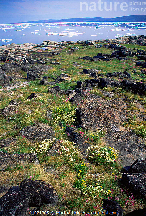 Summer Arctic flowers, with sea ice behind, Wager Bay, Canada, ARCTIC,CANADA,COASTAL WATERS,COASTS,FLOWERING,FLOWERS,ICE,MIXED SPECIES,NORTH AMERICA,PLANTS,SUMMER,TUNDRA,VERTICAL,WILDFLOWERS, Martha Holmes