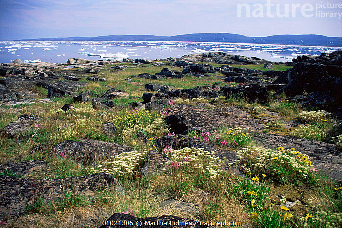 Summer Arctic flowers, with sea ice behind, Wager Bay, Canada, ARCTIC,CANADA,COASTAL WATERS,COASTS,FLOWERS,ICE,LANDSCAPES,MIXED SPECIES,NORTH AMERICA,PLANTS,SUMMER,TUNDRA,WILDFLOWERS, Martha Holmes
