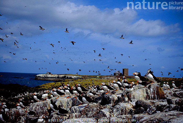 Puffin colony on Farne Islands. (Fratercula arctica) Northumberland., BIRDS,BRITISH,COASTS,EUROPE,FLOCKS,HK,ISLANDS,LANDSCAPES,PUFFINS,SEABIRDS,UK,UNITED KINGDOM,AUKS, Seabirds, United Kingdom, United Kingdom, United Kingdom, United Kingdom, Hans Christoph Kappel