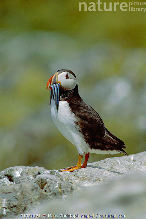 Puffin with sandeels on Farne Islands (Fratercula arctica) Northumberland, England, UK., AUK,BIRD,BIRDS,COASTS,EUROPE,HK,ONE,PORTRAIT,SEABIRDS,UK,UNITED KINGDOM,BRITISH,AUKS, Seabirds, United Kingdom, Hans Christoph Kappel