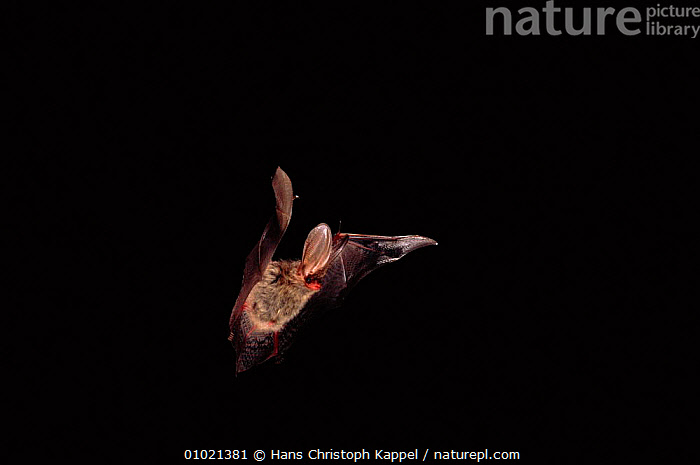 Long eared bat (Plecotus auritus) in flight. Germany, Europe, INSECTIVORES,EUROPE,FLIGHT,WINGS,GERMANY,HORIZONTAL,MAMMALS,FLYING,NOCTURNAL, Hans Christoph Kappel