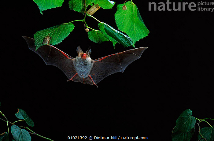 Bechstein's bat hunting moth on underside of leaf, Germany, ACTION,GERMANY,NIGHT,HUNTING,MOTH,HORIZONTAL,PREDATION,CHIROPTERA,EUROPE,OUTSTANDING,DN,FEEDING,FLYING,WINGS,MAMMALS,BEHAVIOUR, Dietmar Nill