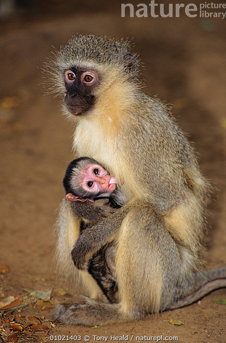 Vervet monkey mother suckling baby (Chlorocebus / Cercopithecus aethiops) Kruger NP, South Africa, AFRICA,Cercopithecidae,CERCOPITHECUS AETHIOPS,CUTE,FAMILIES,FEEDING,GREEN MONKEY,MAMMALS,MONKEYS,MOTHER,NP,PARENTAL,PORTRAITS,PRIMATES,SOUTHERN AFRICA,SUCKLING,VERTEBRATES,VERTICAL,VERVET MONKEY,National Park, Tony Heald