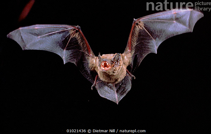 Noctule Bat in flight showing teeth, Germany, FLYING,HORIZONTAL,GERMANY,TEETH,NIGHT,MAMMALS,EUROPE,WINGS,FACES,DN,CHIROPTERA,Catalogue1, Dietmar Nill