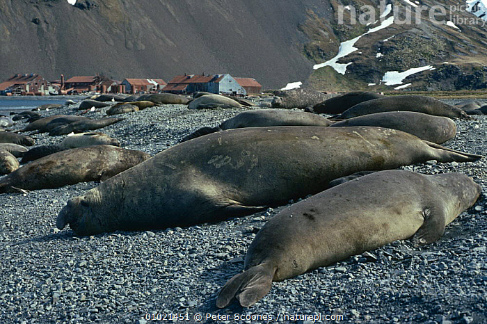 Southern elephant seals on beach (Mirounga leonina) South Georgia Whaling station in background, ANTARCTICA,CARNIVORES,GROUPS,MAMMALS,PINNIPEDS,SEALS,VERTEBRATES,WHALING, PETER SCOONES
