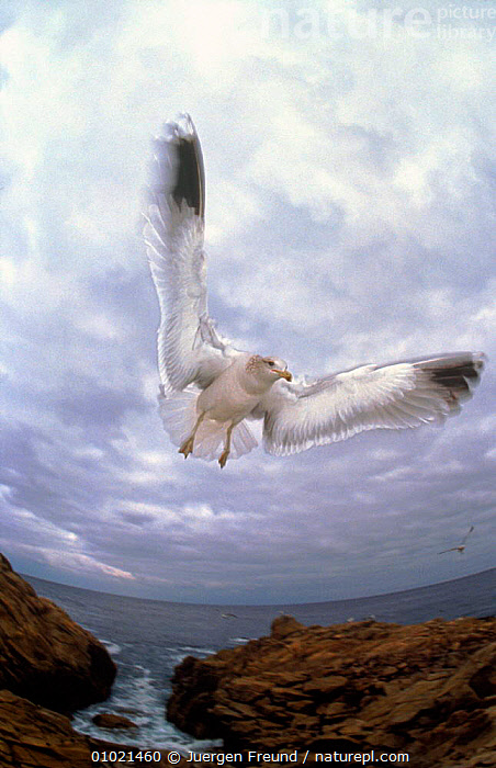 Seagull in flight, COASTS,FISH EYE,SEABIRDS,JFR,ATMOSPHERIC,VERTICAL,BIRDS,ARTY SHOTS,CLOUDS,FLYING,SKY,WEATHER,Catalogue1, Jurgen Freund