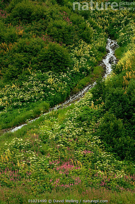 Flowering Fireweed and Cow parsley beside mountain stream, Anchorage, Alaska, USA, ARCTIC,FLOWERS,HIGHLANDS,LANDSCAPES,NORTH AMERICA,PLANTS,POLAR,RIVERS,streams,USA,VERTICAL,wildflowers, David Welling