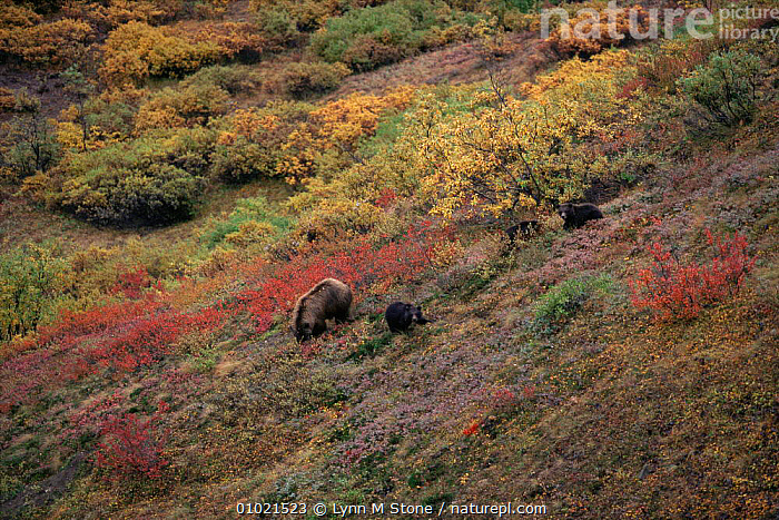 Female Grizzly bear (Ursus arctos horribilis) foraging for food with cubs on mountain slope in autum, Denali NP, Alaska, USA, AUTUMN,BEARS,CARNIVORES,CUBS,FAMILIES,FEEDING,female,FORAGING,HABITAT,LANDSCAPES,MAMMALS,MOTHER,north america,NP,PARENTAL,TUNDRA,USA,VERTEBRATES,National Park, Lynn M Stone