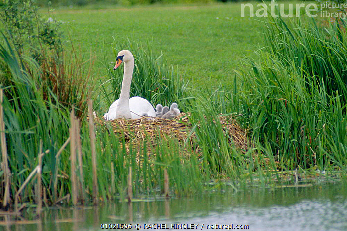 Mute swan at nest with cygnets (Cygnus olor) Stockton, England, BIRDS,ENGLAND,EUROPE,FAMILIES,HALL,NEST,RH,SWAN,SWANS,UK,WATERFOWL,UNITED KINGDOM,BRITISH,WILDFOWL, Waterfowl, RACHEL HINGLEY