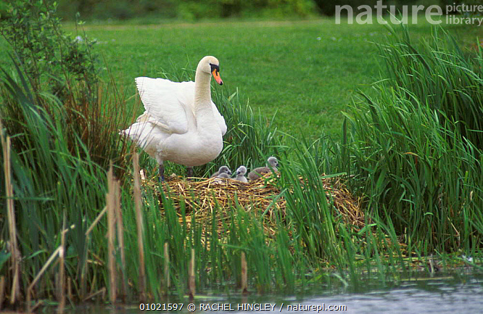 Mute swan at nest with cygnets (Cygnus olor) Stockton, England  ,  BABIES,BIRDS,ENGLAND,EUROPE,FAMILIES,HALL,NESTS,RH,RIVERS,UK,WATERFOWL,UNITED KINGDOM,BRITISH,WILDFOWL, Waterfowl  ,  RACHEL HINGLEY