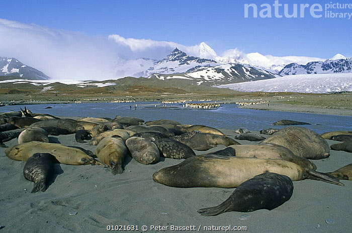 Southern elephant seal {Mirounga leonina} edge of  hareem at rest, Saint Andrews Bay, South Georgia, Falkland Islands., ANTARCTICA,BEACHES,CARNIVORES,FEMALES,GROUPS,HABITAT,LANDSCAPES,MAMMALS,MIXED SPECIES,MOUNTAINS,PENGUINS,PINNIPEDS,SEALS,SNOW,VERTEBRATES, Peter Bassett