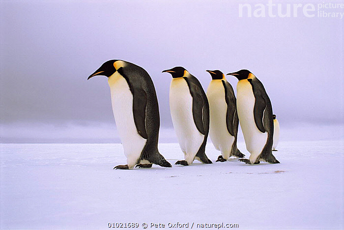 Emperor Penguins walking in a row,  Antarctica., COASTS,BIRDS,FLIGHTLESS,FRIENDSHIP,FOUR,SNOW,ICE,ANTARCTICA,SOCIAL BEHAVIOUR,WHITE,PORTRAITS,WALKING,HORIZONTAL,HUMOROUS,OUTSTANDING,PO,SEABIRDS,GROUPS,CUTE,CONCEPTS,PENGUINS, Seabirds,Catalogue1, Pete Oxford