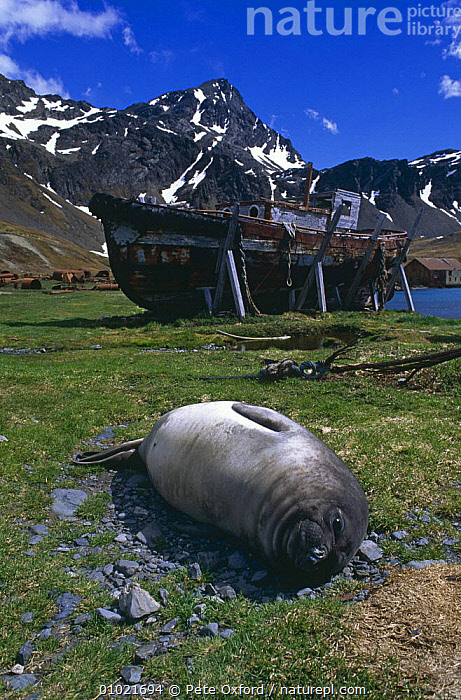 Southern elephant seal {Mirounga leonina} weaner resting on ground with whaling station in background, Grytviken, South Georgia., ANTARCTICA,BOATS,CARNIVORES,COASTS,JUVENILE,MAMMALS,MOUNTAINS,PINNIPEDS,PORTRAITS,SEALS,VERTEBRATES,VERTICAL,WHALING, CARNIVORES , CARNIVORES, Pete Oxford