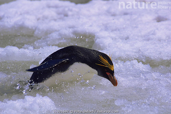 Macaroni Penguin coming out of sea (Eudyptes chrysolophus) Saunders Island, South Sandwich, ACTION,ANTARCTICA,BIRDS,COASTS,ICE,LANDSCAPES,OUTSTANDING,PENGUINS,SEABIRDS,SWIMMING,VERTEBRATES, Seabirds, Pete Oxford