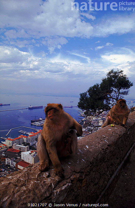 Barbary apes on wall overlooking Gibraltar harbour, VERTICAL,JV,,MAMMALS,GIBRALTAR,LANDSCAPES,PRIMATES ,URBAN, Jason Venus