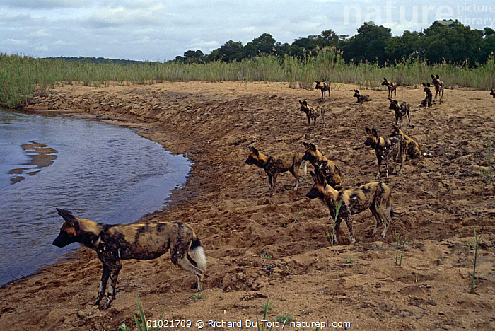 Pack of African wild dogs {Lycaon pictus} on river bank, Sand River, Mala Mala GR, South Africa, AFRICA,CANIDS,CARNIVORES,DOGS,ENDANGERED,FAMILIES,GROUPS,HUNTING,MAMMALS,PACKS,PAINTED,RESERVE,RIVERS,SOUTHERN AFRICA,VERTEBRATES, Richard Du Toit