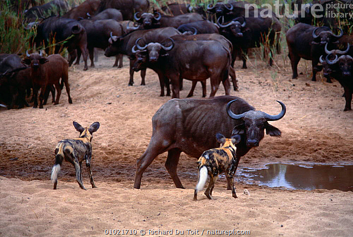 African wild dogs {Lycaon pictus} watching herd of Cape buffalo (Syncerus caffer} Mala Mala GR, South Africa, AFRICA,ARTIODACTYLA,CANIDS,CARNIVORES,DOG,DOGS,ENDANGERED,GROUPS,MAMMALS,MIXED SPECIES,RESERVE,SOUTHERN AFRICA,VERTEBRATES,Catalogue1, Richard Du Toit