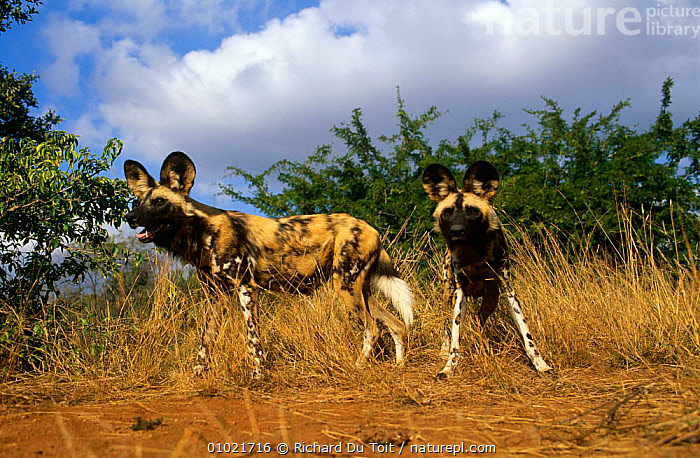 African wild dogs {Lycaon pictus} Mala Mala GR, South Africa, AFRICA,CANIDS,CARNIVORES,DOG,DOGS,ENDANGERED,MAMMALS,RESERVE,SOUTHERN AFRICA,TWO,VERTEBRATES, Richard Du Toit