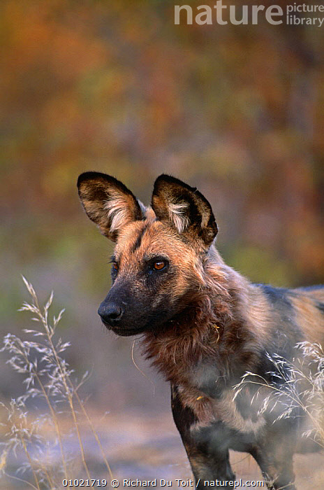 African wild dog {Lycaon pictus} Mala Mala GR, South Africa, AFRICA,ALERT,CANIDS,CARNIVORES,DOGS,EARS,ENDANGERED,MAMMALS,PAINTED,PORTRAITS,RESERVE,SOUTHERN AFRICA,VERTEBRATES,VERTICAL,WINTER, Richard Du Toit