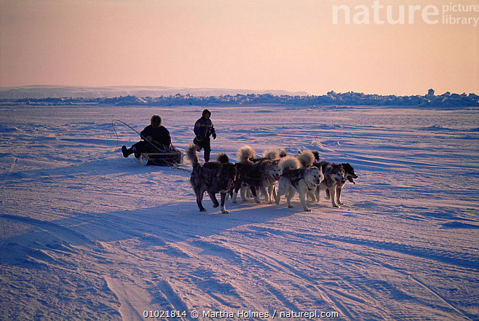 Inuits driving sledge with dog team, Admiralty Inlet, Canadian Arctic, ARCTIC,CANADA,COOPERATION,DOGS,DOMESTICATED,HUSKY,ICE,MAMMALS,NORTH AMERICA,PEOPLE,POLAR,SLEDGING,SPRING,TRADITIONAL,TRANSPORT,TRIBES,VEHICLES,WORKING, Martha Holmes