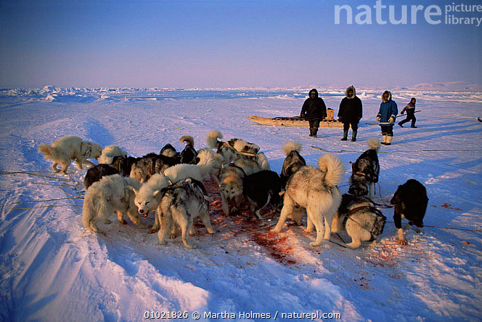 Inuit's husky dogs eating seal meat after successful hunt, Admiralty Inlet, Canadian Arctic, ARCTIC,CANADA,CULTURES,DOGS,DOMESTICATED,FEEDING,GROUPS,HUNTING FOOD,HUSKIES,ICE,MAMMALS,MIXED SPECIES,NORTH AMERICA,PACKS,PEOPLE,POLAR,SPRING,TRADITIONAL,TRIBES,WORKING, Martha Holmes
