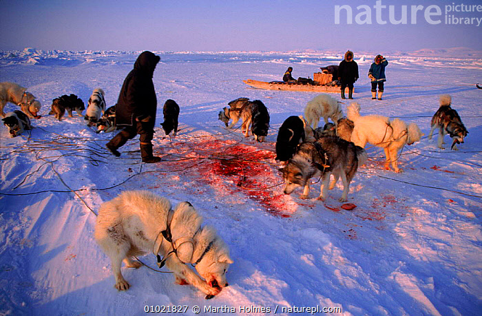 Huskies feeding on seal meat. Admiralty Inlet,  Canada, ARCTIC,DOGS,FEEDING,HORIZONTAL,HUNTING FOOD,HUSKIES,ICE,INUIT,MAMMALS,MH,MIXED SPECIES,NORTH AMERICA,PEOPLE,SEAL,TRADITIONAL,TRIBES, Martha Holmes