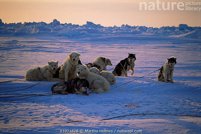 Huskies huddled together after eating, Admiralty Inlet, Canadian Arctic, ARCTIC,CANADA,DOGS,DOMESTIC,DOMESTICATED,HUSKY,ICE,MAMMALS,NORTH AMERICA,PACKS,POLAR,SPRING,TRADITIONAL,WORKING, Martha Holmes