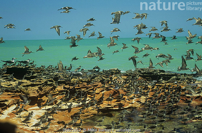 Mixed flock of Great knot {Calidris tenuirostris} and Grey tailed tattler (Tringa brevipes) Broome, Western Australia, AUSTRALIA,BIRDS,COASTS,FLOCKS,FLYING,MIXED SPECIES,SANDPIPERS,VERTEBRATES,WADERS,WADING BIRDS, Miles Barton