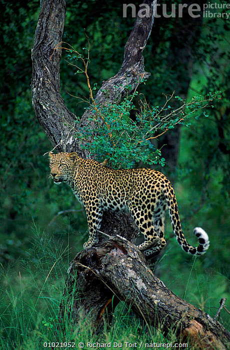 Female Leopard on Acacia tree, MalaMala Game Reserve. S. Africa, VERTICAL,VELDT,RDT,TREE,ACACIA,AFRICA,OUTSTANDING,PORTRAITS,FEMALE,MALAMALA,SOUTHERN AFRICA,MAMMALS,FEMALES,GRASSLAND,LEOPARDS,BIG CATS, Richard Du Toit