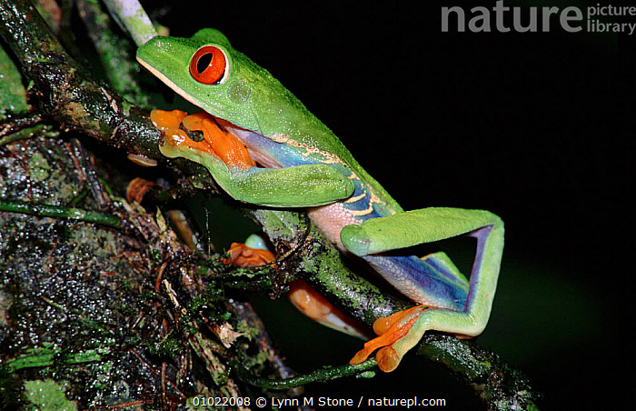 Red-eyed treefrog, Costa Rica, AMPHIBIANS,COLOURFUL,TROPICAL RAINFOREST,TREEFROGS,CENTRAL AMERICA,COSTA,RAINFOREST,RICA,HORIZONTAL,LS, Lynn M Stone