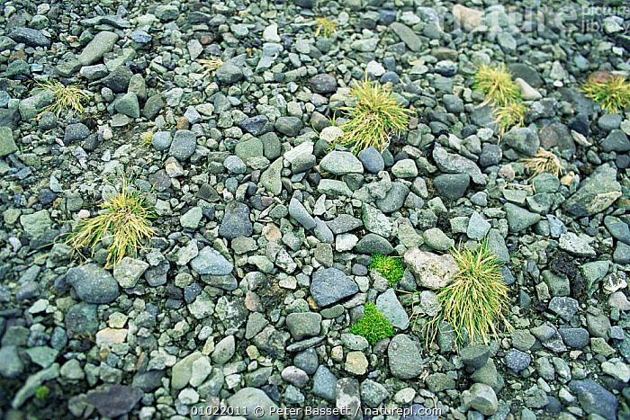 Antarctic hairgrass & pearlwort, flowering plants of Antarctica., ANTARCTICA,DICOTYLEDONS,GRASSES,MIXED SPECIES,MONOCOTYLEDONS,PLANTS,POACEAE, Peter Bassett