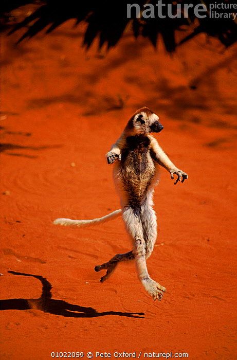 Verreaux's sifaka dancing, Madagascar, Berenty Private Reserve, ACTION,RESERVE,MAMMALS,PO,PRIMATES,PRIVATE,MADAGASCAR,STANDING,BERENTY,DANCING,JUMPING,VERTICAL,LEMURS, Pete Oxford