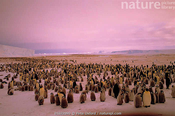 Emperor Penguins {Aptenodytes forsteri} with chicks. Weddell Sea, Antarctic, Atka Bay., ANTARCTICA,FLIGHTLESS,LANDSCAPES,PO,RESERVE,BIRDS,BAY,ICE,WEDDELL,ATKA,FAMILIES,BABIES,CHICKS,SNOW,FLOCKS,HORIZONTAL,SEABIRDS,PENGUINS, Seabirds, Pete Oxford
