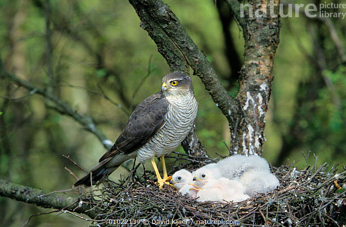 Female Sparrowhawk with chicks in nest (Accipiter nisus) Yorkshire, UK, BABIES,BIRDS,BIRDS OF PREY,CHICKS,ENGLAND,EUROPE,FAMILIES,FEMALES,HAWKS,HOMES,NESTS,UK,VERTEBRATES,WOODLANDS,United Kingdom,British, David Kjaer