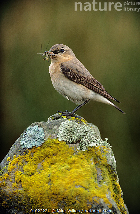 Wheatear (Oenanthe oenanthe) female perched on rock with insect prey, Dyfed, Wales, UK, BIRDS,EUROPE,FEEDING,FEMALES,INSECTS,MOSS,ROCKS,UK,VERTEBRATES,VERTICAL,WALES,WHEATEARS,Invertebrates,United Kingdom,Chats, Mike Wilkes