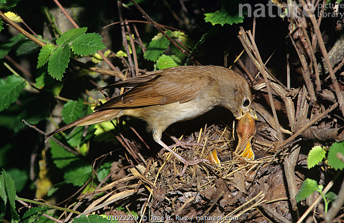 Nightingale (Luscinia megarhynchos) feeding chicks at nest, Spain, BEHAVIOUR,BIRDS,CHICKS,EUROPE,FAMILIES,FEEDING,FLYCATCHERS,NESTS,SONGBIRDS,SPAIN,VERTEBRATES,WOODLANDS, Jose B. Ruiz