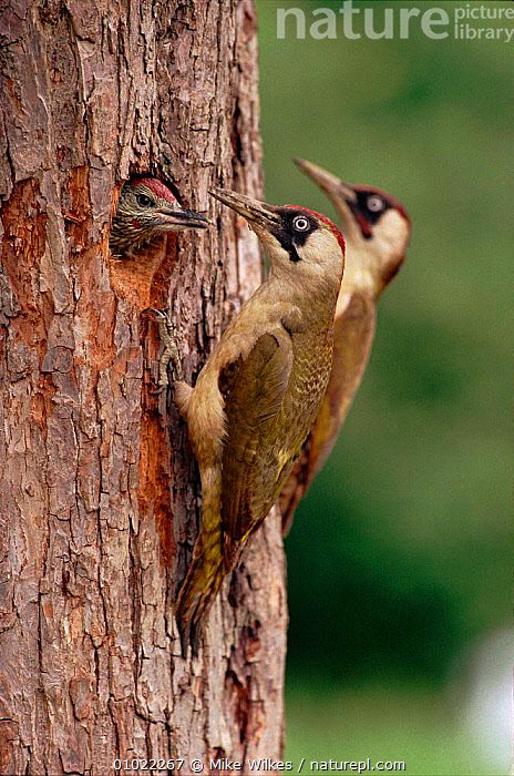 Nature Picture Library Green Woodpeckers Feeding Young At
