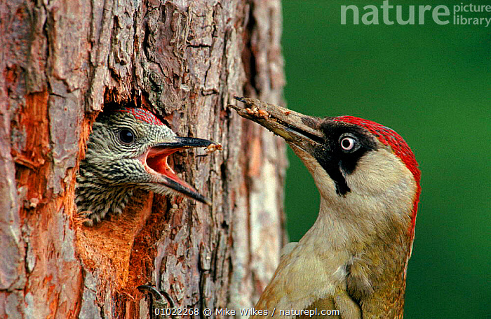 Green Woodpecker feeding young at nest in tree, England, UK, MW,BIRDS,TREE,BABIES,EUROPE,UK,HORIZONTAL,NESTING BEHAVIOUR,ENGLAND,FEEDING,NESTS,FAMILIES,UNITED KINGDOM,REPRODUCTION,BRITISH, Mike Wilkes