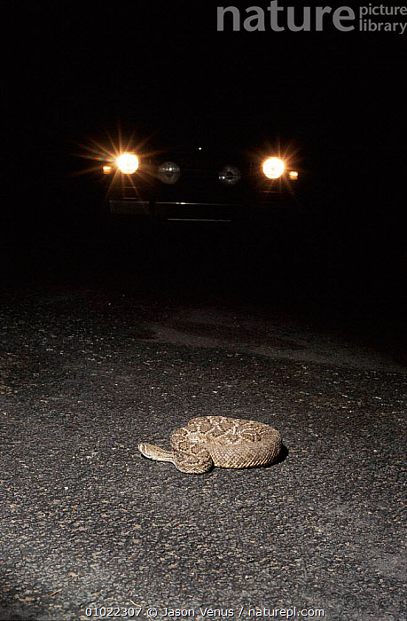 Western diamondback rattlesnake in road, lit by car headlights. The road lies in the path of the snakes migratory route across the Sonoran Desert, Arizona USA. Many become casualties when crossing., ARIZONA,CAR,CROSSING,DESERT,DESERTS,HEADLIGHTS,JV,MIGRATION,MIGRATORY,NIGHT,NORTH AMERICA,PATH,RATTLESNAKES,REPTILES,ROAD,ROADS,ROUTE,SNAKES,SONORAN,TRAFFIC,USA,VEHICLES, Rattlesnakes, Jason Venus