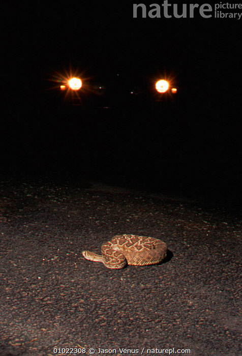 Western diamondback rattlesnake {Crotalus atrox} in road at night. BBC Incredible Journeys. Road in the path of snake's migratory route across the Sonoran Desert, Arizona USA. Many killed on road., CAR,NIGHT,AMERICA,JV,MIGRATORY,ROADS,SONORAN,DESERT,INCREDIBLE,VEHICLES,JOURNEYS,DESERTS,VERTICAL,USA,ARIZONA,BBC,REPTILES,SNAKES,ROAD,NORTH AMERICA, RATTLESNAKES, Jason Venus