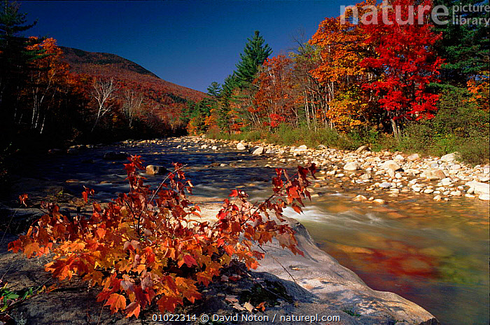 Autumn colours reflected in the Saco Valley, White Mountains, USA River scene with autumn trees., PLANTS,OUTSTANDING,RIVER,TREES,LANDSCAPES,AUTUMN,COLOURFUL,HORIZONTAL,RIVERS,VALLEY,DNO,WHITE,MOUNTAINS,ATMOSPHERIC,REFLECTIONS,AMERICA,HOLIDAYS,PEACEFUL,SACO,CONCEPTS,ENGLAND,North America, David Noton