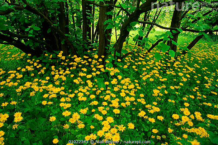 Great leopard's bane (Doronicum pardalianches) flowering in woodland, Scotland., ASTERACEAE, COMPOSITAE, DICOTYLEDONS, EUROPE, FLOWERS, HORIZONTAL, LANDSCAPES, outstanding, PLANTS, SCOTLAND, UK, YELLOW,United Kingdom, Niall Benvie